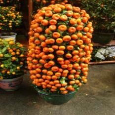berisi 7 biji benih / bibit bonsai buah jeruk manis