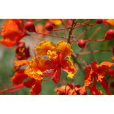 berisi 7 biji benih / bibit bunga flamboyan orange