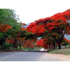 berisi 7 biji benih / bibit pohon flamboyan merah jingga