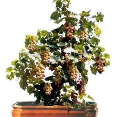berisi 7 biji benih / bibit red grape bonsai tree