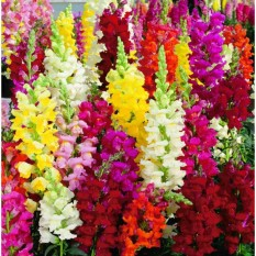 berisi 72 biji benih / bibit bunga anthirrhinum