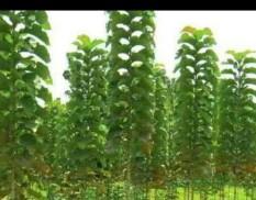 berisi 8 biji benih / bibit pohon jati emas