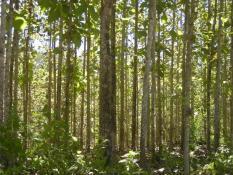 berisi 8 biji benih / bibit pohon jati hutan