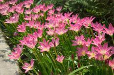 berisi 9 biji benih / bibit bunga bawang bunga pink