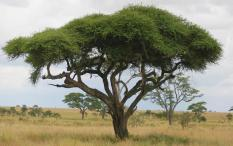 berisi 9 biji benih / bibit tanaman pohon akasia