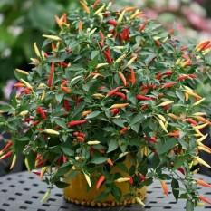 berisi 97 biji benih / bibit bonsai cabe / cabai rawit