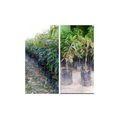 Bibit 2 Paket Durian Musangking Dan Durian Bawor Kaki 1
