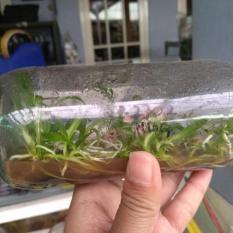 Bibit Anggrek Botol Dendrobium – 20-25 Pcs