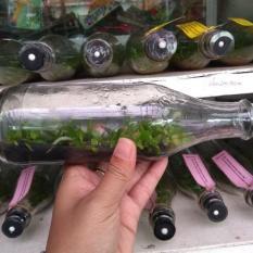 Bibit Anggrek Botol Phalaenopsis (Bulan) – 20-25 Pcs