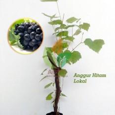 Bibit Anggur Hitam Lokal Stek 30 cm