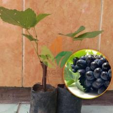 Bibit Anggur Hitam Stek 15 cm
