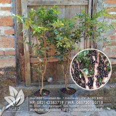 Bibit Anggur Pohon/Brazil/Jaboticaba 70 cm