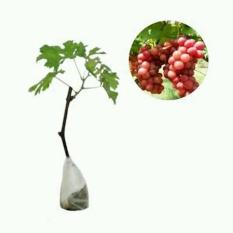 Bibit Anggur Red Globe