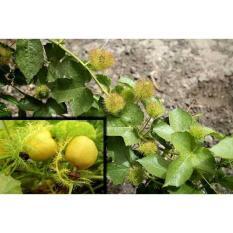 Bibit / Benih /Seed Buah Markisa Mini Kuning MIni Yellow Passion Fruit