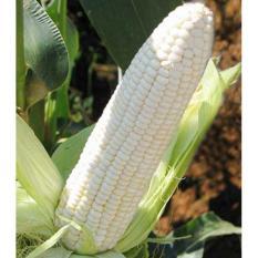 Bibit /Benih /Seed White Corn Jagung Putih Baik Untuk Kesehatan
