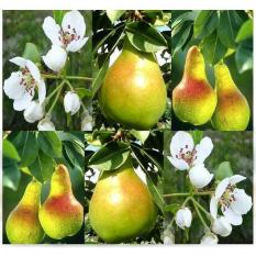 Bibit / Benih / Seeds Buah Pir Common Pear Import Grow Your Own Fruit
