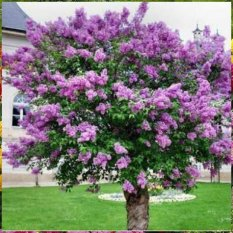 Bibit Benih Seeds Bunga French Lilac Bunga Ungu Harum