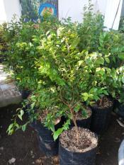 Bibit Buah Anggur Pohon Presso 100 Cm Siap Berbuah Varietas Unggul