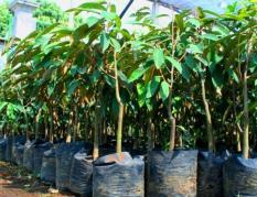 Bibit Buah Durian Bawor Typ 2 150Cm