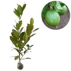 Bibit Buah Jeruk Lemon Lokal - Ukuran 40Cm