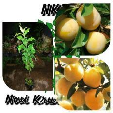 bibit buah plum kuning ( yellow plum ) tinggi 100 cm siap berbuah