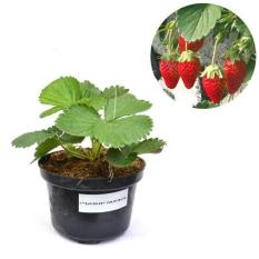 Bibit Buah Strawberry California
