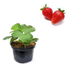Bibit Buah Strawberry Holland