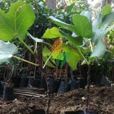 Bibit Buah Tin Green Yordan Stek 30 cm