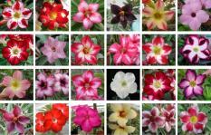Benih Adenium Mixed Impor Thailand -  3 Biji