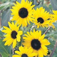 Bibit Bunga Benih Bunga Matahari Alchemy