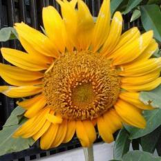Bibit Bunga Benih Bunga Matahari Lokal