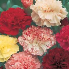 Bibit Bunga Benih Carnation Double Mixed