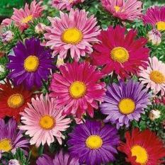 Bibit Bunga Benih China Aster Mix