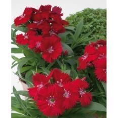 Bibit Bunga Benih Dianthus Chiba Red – 5 Biji
