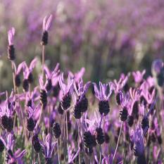 Bibit Bunga Benih Lavender French
