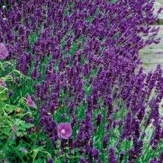Bibit Bunga Benih Lavender Hidcote Blue Strain