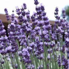 Bibit Bunga Benih Lavender Vera (True Lavandula)
