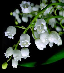 Bibit Bunga Benih Lily of the Valley