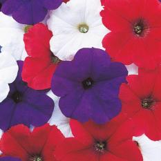 Bibit Bunga Benih Petunia Celebrity Bunting