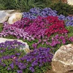 Bibit Bunga Benih Rockcress Rainbow