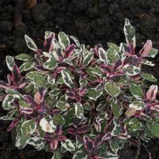 Bibit Bunga Benih Sage Herb (Daun Sage)IDR19000. Rp 19.000