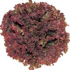 Bibit Bunga Benih Selada Red Salad Bowl