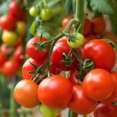Bibit Bunga Benih Tomat Lowland Hibrida