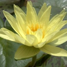 Bibit Bunga Benih Yellow Water Lily