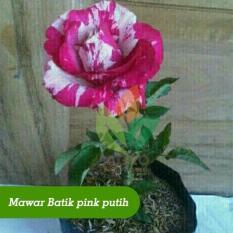 Bibit Bunga Mawar Batik Pink Putih