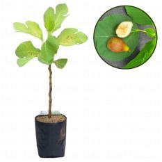 Bibit Cangkok Pohon Buah Fig Tin Ara Jenis Alma Canada