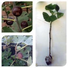 Bibit Cangkok Pohon Buah Fig Tin Ara Jenis Hardy Chicago
