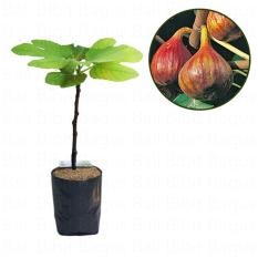 Bibit Cangkok Pohon Buah Fig Tin Ara Jenis Vern Brown Turkey