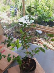 Review Tentang Bibit Dewandaru Pohon Buah Dewandaru