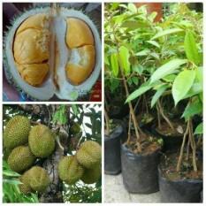 Bibit Durian Bawor Kaki 3 Super Unggul Dan Genjah